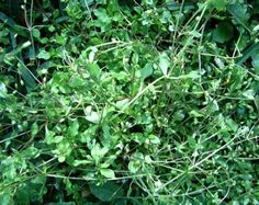 Eat the weeds? Chickweed ... who would have thought ... boy, we could eat our back yard, provided there were no chemicals on it ...good site for edibles information!