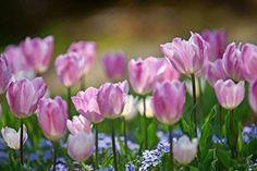 Plants, Tulips, Flowers, Plant, Planets