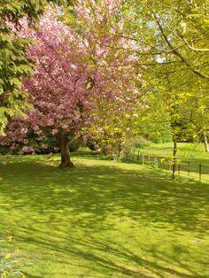 Cherry Blossom by B Lowe