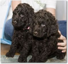 Irish Water Spaniels- shed very little, curly coat with a rat tail.  The love the water & they have slightly webbed feet.