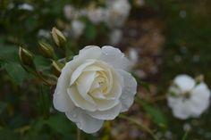 White rose, flower, dew drops, morning wallpaper