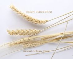 The 4 reasons I am switching to Einkorn wheat + Where to Source the Best Quality Einkorn