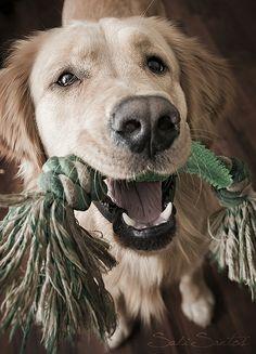 golden retriever and toy best friend