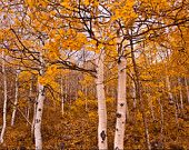 Orange Aspen Tree Landscape photography, autumn in orage art, tree scene landscape