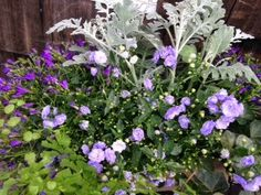 les fleurs : reclaimed wooden box : outdoor spring planter : purples : campanula, ivy & dusty miller