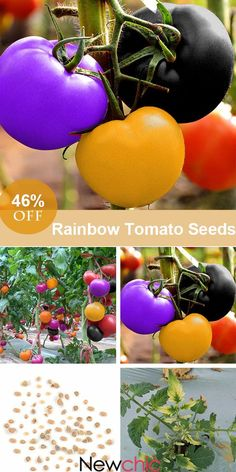 What to grow in the garden? -- 100Pcs Rainbow Tomato Seeds Colorful Bonsai Organic Vegetables and Fruits Seeds Home Garden#newchic#garden#home#flowers