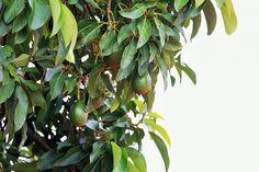 How to prune an avocado tree – Growing Avocado – Wie man einen Avocadobaum beschneidet – Avocado anbauen – Avocado Leaves, Avocado Plant, Avocado Seed, Avocado Salads, Growing An Avocado Tree, Growing Tree, Wild Growth, Avocado Health Benefits, Natural Acne Treatment