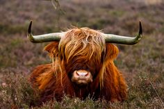cow - my Daddy had one of these named Humphrey!Highlands cow - my Daddy had one of these named Humphrey!