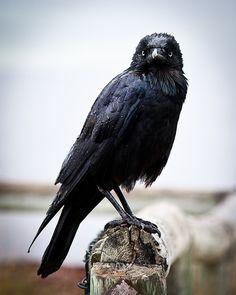 bathorynordland: Rainy Raven by J. Peter on Flickr.