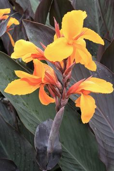 Pacific Beauty Canna Lily for sale buy Canna 'Pacific Beauty'