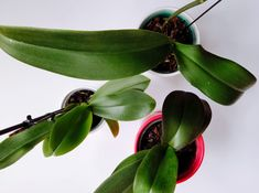 There is only one correct way to water an orchid! Find out How to water your orchids and you'll have your orchid for years to come. Orchids In Water, Indoor Orchids, Orchids Garden, Garden Plants, Indoor Plants, House Plants, Indoor Flowers, Succulents Garden, Potted Plants