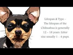 CHIHUAHUA Dog İnformation - YouTube