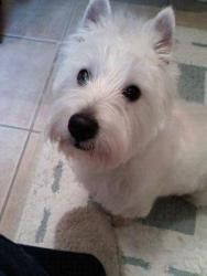 Jax is an adoptable West Highland White Terrier Westie Dog in Mechanicsburg, PA. Meet Jax! He is a 4 yr old Male Westie....has some papers (but hey, who bothers with them)! Jax is a fantastic boy! Lov...