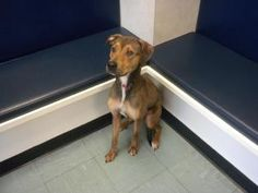 Violet is an adoptable Shepherd Dog in Dewitt, NY. Violet is a ~1-2 year old Hound/Shepherd mix. She arrived on May 13th, very skinny and not well cared for. We are treating her for a wound on her nec...