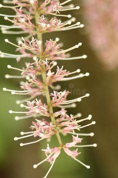 Fleur de macadamia. Photo à propos batterie, australien, sépales, raceme, noix, fleur, ressort, flore, fleurs, étamine, assez, macadamia, inflorescence, botanique - 1722208
