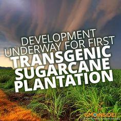 Development Underway For First Transgenic Sugarcane Plantation. More Here: http://www.thejakartapost.com/news/2013/05/20/development-underway-first-transgenic-sugarcane-plantation.html