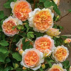New David Austin release, climbing Rose 'Bathsheba', seen at the 2016 Chelsea Flower Show.