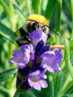 'Biene auf Lavendel' von Linda Schilling bei artflakes.com als Poster oder Kunstdruck $16.63