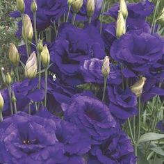Cinderella Double Blue lisianthus seeds - Garden Seeds - Annual Flower Seeds