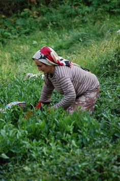 Çay toplayan kadınlar