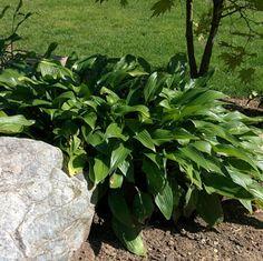 Blog.Sunset Hosta Farm.com: What Are Sun Tolerant Hostas? Landscaping Plants, Garden Plants, Sun Hostas, Landscape Design, Garden Design, Secret Garden Book, Landscape Designs