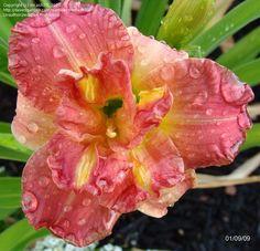 Daylily 'Lacy Doily'  Hemerocallis