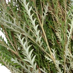 FiftyFlowers.com - Grevillia Fresh Fall Greens