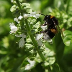 Bumblebee on basil