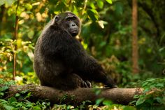 Tracking wild chimps in Uganda's Kyambura Gorge was a wild ride! We followed them over, under and up jungle terrain ... a race to keep their pace!