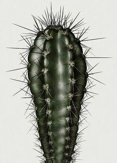 Peter Lippmann | Cactus | Botanical Illustration