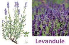 levandule ucinky na zdravi co leci pouziti uzivani Herb Garden, Pesto, Herbs, Gardening, Health, Plants, Fitness, Art, Salud