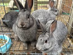12 week old Standard Chinchilla x Californian rabbits. They needed to be weighed and marked so that's why they are in the small wire cage - you can't catch them if they are running around their run that's attached to their hutch.