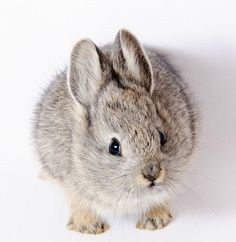 Wee   Oregon Zoo Releases Pygmy Rabbits To The Wild