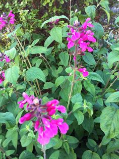 Salvia 'Joan'. from the Secret garden. This one has a strong delightful perfume, similar to flowering currant.