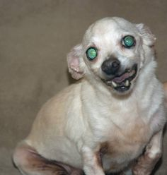 Adoption Donation: $99    Located: ARAge: 14 Years Weight: 7 lbsTommy Two Teeth or Tommy the Tusk is a 14 year old gentleman Chihuahua.  He was surrendered when his mother had to seek medical care.  He is healthy and happy, loves people and other...