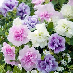 """Petunia Plants - Tumbelina Fragrant Mix """"Priscilla"""" Melissa"""" """"Joanna"""" : Cascades of fragrant flowers! A British-bred variety that's a must for hanging baskets and patio containers, producing mounded, trailing plants that are very free-flowering. The beautiful double blooms come in three harmonious colours (creamy white, blue vein and rose pink) all of which are deliciously scented. Trailing. (EG April 2013)"""