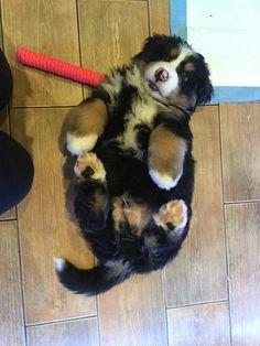 19 Preciosos cachorritos que parecen osos bebé