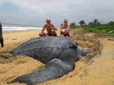 The Leatherback Sea Turtle is the largest turtle in the world, weighing approximately 900kg. Contrary to appearance, the leatherback doesn't actually have a shell. What looks like a shell is in fact a leathery skin supported by small bones. This gives it a flexibility that a solid shell would not provide, allowing it to dive to astonishing depths.