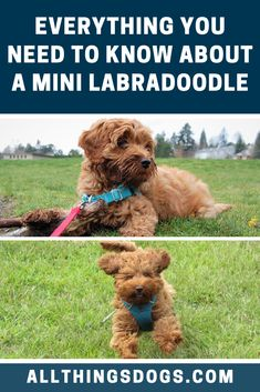 Don't let their small size fool you, Mini Labradoodles are very active dogs. They love to swim, bu Mini Labradoodle For Sale, Australian Labradoodle, Cockapoo, Goldendoodle, Labradoodle Pictures, Getting A Kitten, Dog Activities