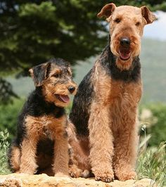 Airedale Terrier - if I ever get another dog I think this is the one I want.