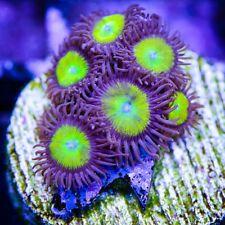 156 Best Zoanthids Images On Pinterest Reef Tanks Saltwater
