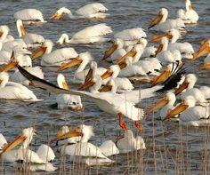 American white pelicans, Cheyenne Bottoms, KS.