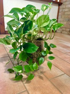 Pothos plant is one of the most popular indoor plants to grow. room with plants Room With Plants, All Plants, Live Plants, Indoor Garden, Indoor Plants, Bonsai, Golden Pothos Plant, Full Shade Plants, Design Case