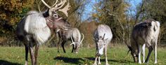 Welcome - The Reindeer Centre - Sleigh and reindeer hire for corporate, tv, television, magazine, parties, party, private, functions, weddings, christmas, light, lights, switch-on