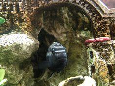 Auratus African Cichlid Aquarium Fish Food, Goldfish Aquarium, Discus Aquarium, Aquarium Pump, Live Aquarium Plants, Planted Aquarium, Aquariums, Aquarium Accessories, Aquarium Ornaments