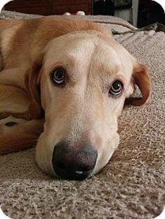 Woodstock, GA - Labrador Retriever. Meet Sam a Dog for Adoption.