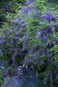Wisteria, Tributary of Yodo River, Oyamazaki, Kyoto, Japan