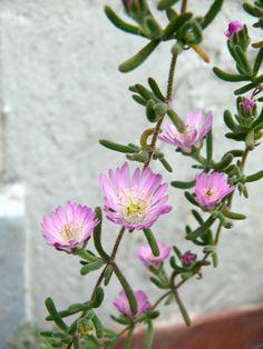 Cactus & Succulents: Drosanthemum floribundum