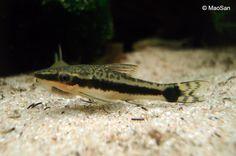 Otocinclus zijn erg sociale vissen, die je nooit solitair zou moeten houden. Grote scholen kennen een duidelijke hierachie. De mannetjes zijn dominant. De Otocinclus zal altijd een paar soortgenoten zoeken als gezelschap. Bij gevaar vormen zich grotere scholen.