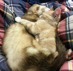 "Kitten's humans are worried that their kitty might grow up thinking he's a ferret.""My ferrets and my kitten are best friends."" When they brought the kitten into their home, they were worried that they wouldn't get along, then this happened."